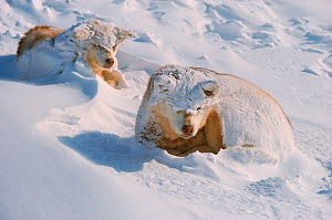 Snow covered Huskies (Canis familiaris) waking after storm, Northwest Greenland.  -  Bryan and Cherry Alexander