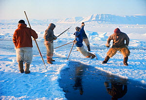 Inuit hunters trying to stop lead opening using their harpoons. Northwest Greenland, 1977. - Bryan and Cherry Alexander