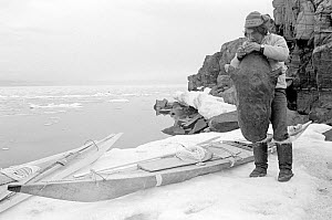Inuit hunter inflating sealskin avatak (float) on ice foot by his kayak. Qeqertat, Thule, Northwest Greenland, 1977.  -  Bryan and Cherry Alexander
