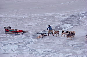 Inuit hunter rescuing Huskies (Canis familiaris) that have fallen through thin sea ice. Savissivik. Northwest Greenland, 1991. - Bryan and Cherry Alexander