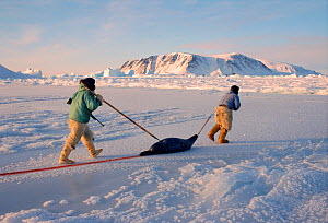 Inuit hunters dragging seal across ice near Cape York. Melville Bay, Northwest Greenland, 1998.  -  Bryan and Cherry Alexander
