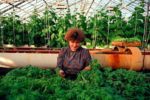 Woman tending Cucumber (Cucumis sp.) plants in greenhouse heated by nuclear power station at Bilibino, Chukotka, Siberia, Russia, 1994.  -  Bryan and Cherry Alexander