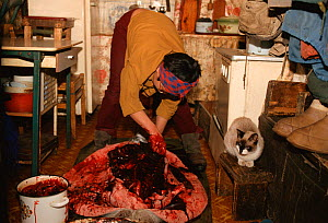 Chukchi woman butchering Ringed seal (Phoca hispida) on kitchen floor. Uelen, Chukotka, Siberia, Russia. - Bryan and Cherry Alexander