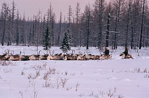 Evenk herders driving Reindeer / Caribou (Rangifer tarandus) through deep snow at their winter pastures. Evenkiya, Siberia, Russia, 1997.  -  Bryan and Cherry Alexander