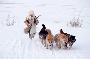Nganasan woman running behind her team of Huskies (Canis familiaris). Taymyr, Northern Siberia, Russia, 2004. - Bryan and Cherry Alexander