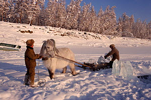 Horse (Equus caballus) and sleigh being used to collect river ice at herders' camp. Korban, Yakutia, Siberia, Russia, 1999. - Bryan and Cherry Alexander
