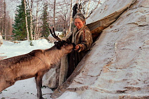 Elderly Nenets woman feeding bread to a tame Reindeer / Caribou (Rangifer tarandus) at entrance to her tent. Yamal, Siberia, Russia, 1993.  -  Bryan and Cherry Alexander