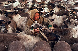 Nenets herder selecting draught Reindeer / Caribou (Rangifer tarandus) from a corral. Yamal, Siberia, Russia, 1993. - Bryan and Cherry Alexander