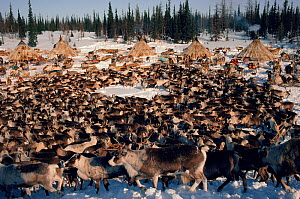 Draught Reindeer / Caribou (Rangifer tarandus) at Nenets herders' winter camp. Yamal, Siberia, Russia, 1993.  -  Bryan and Cherry Alexander