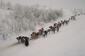 Nenets woman leading train of Reindeer / Caribou (Rangifer tarandus) sleds down icy banks of the River Ob. Yamal, Siberia, Russia, 1993  -  Bryan and Cherry Alexander
