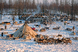 Nenets herders' winter camp with Reindeer /  Caribou (Rangifer tarandus) herd in the forest. Yamal, Siberia, Russia, 1996.  -  Bryan and Cherry Alexander