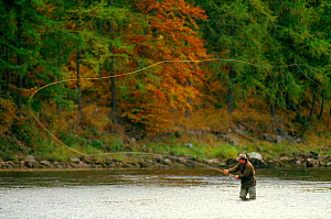 Man casting long fly line while fishing on the River Tay, Scotland. - Bryan and Cherry Alexander