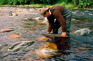 Man releasing hen Salmon (Oncorhynchus) on the Banchor Beat, River Findhorn, Invernesshire, Scotland.  -  Bryan and Cherry Alexander