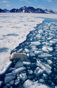 Polar bear (Ursus maritimus) picking her way across a lead on chunks of ice. Spitsbergen, Norway, 1993.  -  Bryan and Cherry Alexander