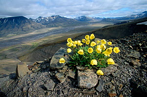 Svalbard Poppy (Papaver dahlianum) and view across Adventdalen. Svalbard, Norway, 2004.  -  Bryan and Cherry Alexander
