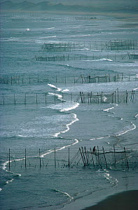 Lines of Stake Nets set out from the beach to catch Atlantic Salmon. St Cyrus Bay, Scotland, 1982. - Bryan and Cherry Alexander