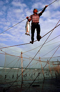 Commercial fisherman carrying Atlantic salmon (Salmo salar) along stake net. St Cyrus Bay, Scotland, 1982. - Bryan and Cherry Alexander