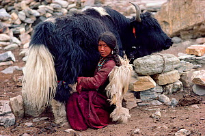 Herder milking Yak outside a stone shelter. Nimaling Plateau, Ladakh, India, 1986.  -  Bryan and Cherry Alexander