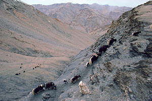 Yaks climbing to summer pastures on the Nimaling Plateau. Ladakh, Northern India.  -  Bryan and Cherry Alexander