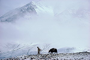 Herder leading Yak across snow covered Nimaling Plateau. Ladakh, India.  -  Bryan and Cherry Alexander