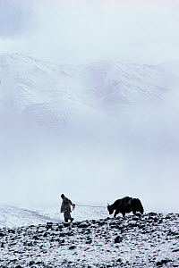 Herder leading Yak across snow covered Nimaling Plateau. Ladakh, India, 1986.  -  Bryan and Cherry Alexander
