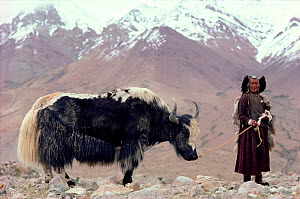 Herder leading Yak between the Himalayan peaks. Nimaling Plateau, Ladakh, India, 1986.  -  Bryan and Cherry Alexander