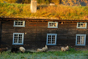 Sheep outside traditional wood farm houee with grass roof, Forollhogna National Park, Norway, September 2008  -  Wild Wonders of Europe / Munier