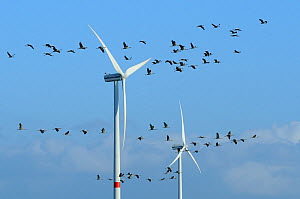 Common / Eurasian crane (Grus grus) flock flying close to wind turbines, Near Diepholz, Lower Saxony, Germany, October 2009 - Nick Upton