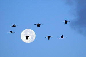 Silhouetted Common / Eurasian cranes (Grus grus) flying from roost at dawn past full moon, during autumn migration period, Rugen-Bock-region, Mecklenburg-Vorpommern, Germany, October  -  Nick Upton