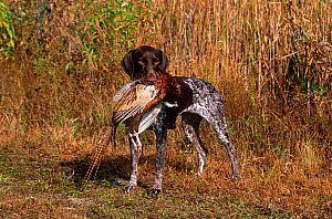Domestic dog, German short-haired pointer retrieving a dead male Ring-necked pheasant, Connecticut, USA - Lynn M Stone
