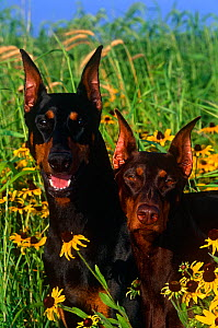 Domestic dog, Doberman pinschers with cropped ears amongst Rudbeckia flowers, male on left, female on right, Illinois, USA  -  Lynn M Stone