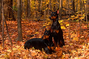 Domestic dog, two Doberman pinschers with cropped ears in autumn woodland, Illinois, USA  -  Lynn M Stone