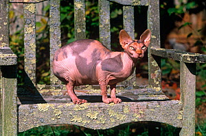 Domestic cat, Sphinx cat with no hair sitting on garden bench, Connecticut, USA  -  Lynn M Stone