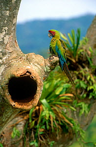 Buffon's / Great green macaw (Ara ambigua) perched near nest in Almendro tree, Costa Rica  -  JIM CLARE