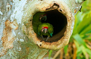 Buffon's / Great green macaw (Ara ambigua) chick in nest hole in Almendro tree, Costa Rica  -  JIM CLARE