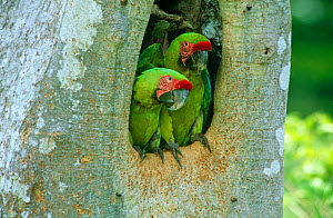 Buffon's / Great green macaw (Ara ambigua) adult pair in nest hole in Almendro tree, Costa Rica  -  JIM CLARE