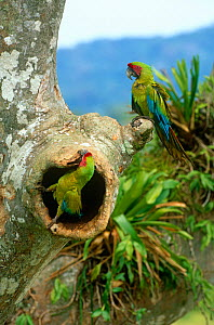 Buffon's / Great green macaw (Ara ambigua) adult pair at nest hole in Almendro tree, Costa Rica - JIM CLARE