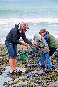 Mother and children inspecting rock pool catch on shore in Cornwall, UK. Model released. April 2009  -  Nick Upton