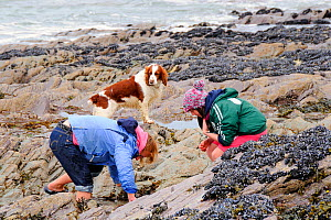 Mother and daughter peering into rock pool on shore, watched by springer spaniel (Canis familiaris). Cornwall, UK, Model released, April 2009  -  Nick Upton