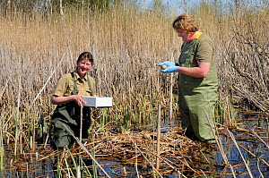 Great Crane Project team collecting Eurasian / Common crane eggs (Grus grus) in Germany for UK reintroduction. Roland Digby measures crane egg at nest in reed pool, with Beate Blahy. Schorfheide-Chori...  -  Nick Upton