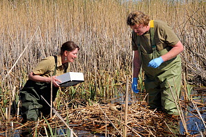 Great Crane Project team members Beate Blahy and Roland Digby inspecting Eurasian / Common crane eggs (Grus grus) in reed pool nest in Germany before collecting them for UK reintroduction programme. S...  -  Nick Upton