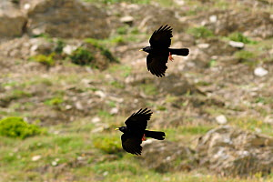 Two Alpine / Yellow-billed choughs (Pyrrhocorax graculus) in flight, Spanish Pyrenees, Hecho valley, Huesca, Spain.  -  Nick Upton