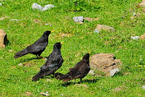 Two adult and one immature Alpine / Yellow-billed chough (Pyrrhocorax graculus) in grassland calling as other Alpine choughs fly overhead, Cirque de Gavarnie, Haute Pyrenees, France.  -  Nick Upton
