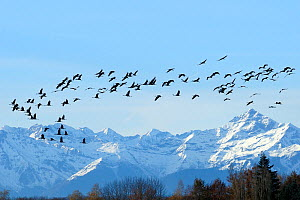 Common / Eurasian crane (Grus grus) flock in flight with snow topped Pyrenees mountains in the background, during southward migration period, Haute Pyrenees, Gascony, France. December 2009  -  Nick Upton