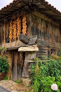 """Clusters of maize cobs (Zea mays) hang from a traditional """"horreo"""" granary on pillars, topped with flat stones """"mueles"""" to repel rodents, modified to include a ground floor room. Cuevas, Picos d'Europ...  -  Nick Upton"""