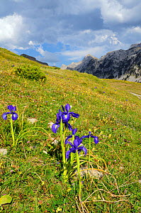 English Iris (Iris latifolia) flowering on Pyreneean mountain meadow, Linza, Huesca, Aragon, Spain. July 2009  -  Nick Upton