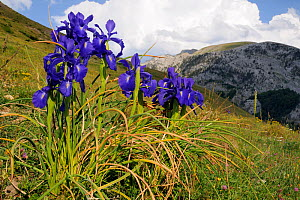 English Iris (Iris latifolia) flowering on Pyreneean mountain meadow. Linza, Huesca, Aragon, Spain. july  -  Nick Upton