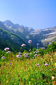 Small scabious (Scabiosa columbaria) flowering at the Cirque de Gavarnie, Haute Pyrenees, France. July 2009  -  Nick Upton