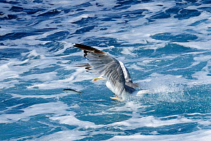 Yellow legged gull (Larus cachinnans) chasing Sardine / European pilchard (Sardina pilchardus) leaping out of sea in attempt to escape. Between Isle of Lesbos / Lesvos, Greece and Turkey. August  -  Nick Upton