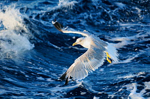 Yellow legged gull (Larus cachinnans) flying low over sea while fishing for Sardines / European pilchards (Sardina pilchardus) between Isle of Lesbos, Greece and Turkey. August  -  Nick Upton